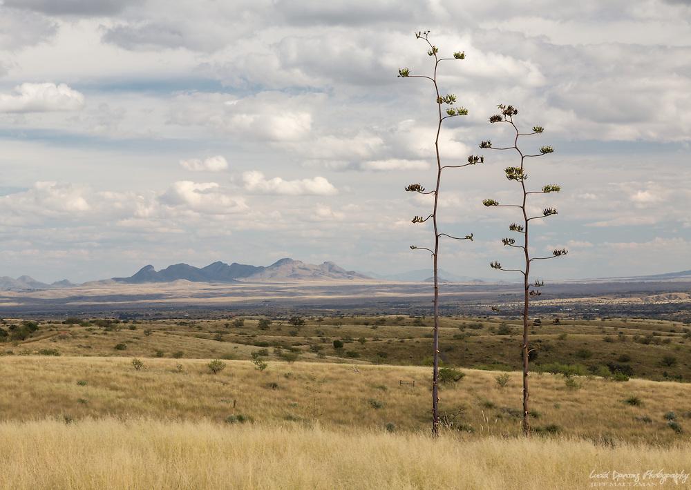 Desert agave rise aover the grasslands of the Santa Rita foothills near Kentucky Camp, Sonoita