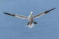 Basstölpel im Flug; Bass Rock, Schottland