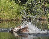 Huge splash as osprey dives into pool for fish, © 2015 David A. Ponton