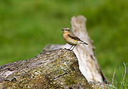 Female Wheatear, Oenanthe oenanthe, bird on old log in Gloucestershire, UK