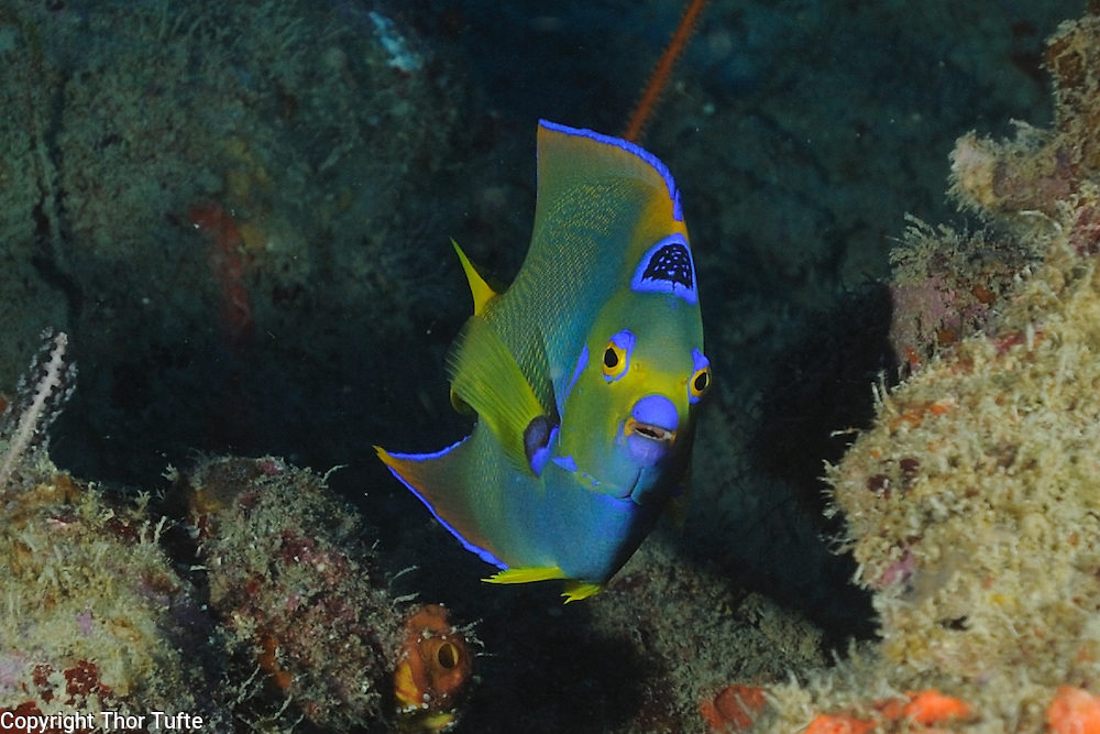 Queen Angelfish.