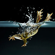 Frog diving into water creating splash and bubbles Ray Massey is an established, award winning, UK professional  photographer, shooting creative advertising and editorial images from his stunning studio in a converted church in Camden Town, London NW1. Ray Massey specialises in drinks and liquids, still life and hands, product, gymnastics, special effects (sfx) and location photography. He is particularly known for dynamic high speed action shots of pours, bubbles, splashes and explosions in beers, champagnes, sodas, cocktails and beverages of all descriptions, as well as perfumes, paint, ink, water – even ice! Ray Massey works throughout the world with advertising agencies, designers, design groups, PR companies and directly with clients. He regularly manages the entire creative process, including post-production composition, manipulation and retouching, working with his team of retouchers to produce final images ready for publication.