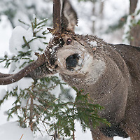 mature muledeer buck rubbing antlers fir tree, aspen, snow, durring rut