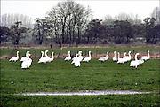 Nederland, Heteren, 28-1-2015Zwanen, knobbelzwanen, en witte ganzen fourageren in een grasland, weiland. Voedsel, voedselbron, voedingsbron, weidevogels, trekvogels, landbouw, milieu, boeren hebben steeds meer overlast van deze vogels.Foto: Flip Franssen/Hollandse Hoogte