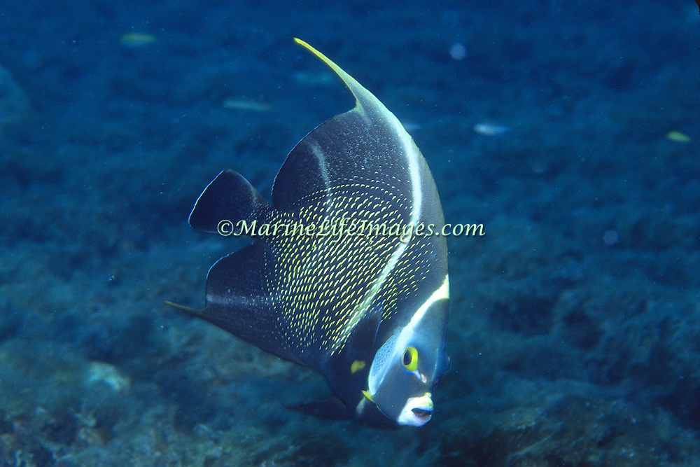 French Angelfish inhabit reefs and sandy areas in Tropical West Atlantic; picture taken Grand Cayman.