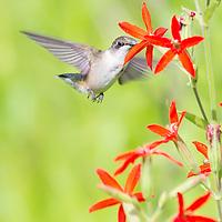 Ruby-throated hummingbird nectaring on royal catchfly in tallgrass prairie setting.