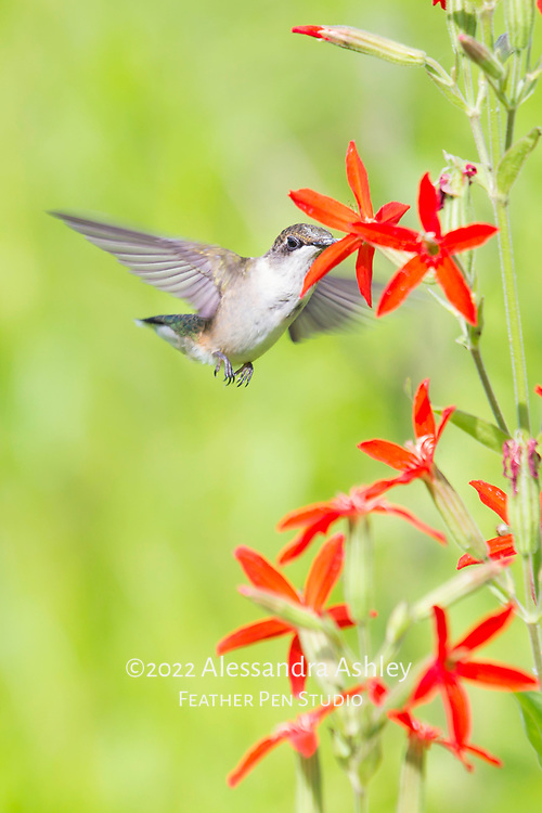 Ruby-throated hummingbird nectaring on royal catchfly in tallgrass prairie setting.