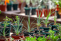 Pots of seedlings growing on a bench in the greenhouse