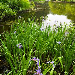 Large Blue Flag, Iris versicolor, on the Connecticut River in Pittsburg, New Hampshire.  Below Third Connecticut Lake.  Connecticut River Headwaters region.