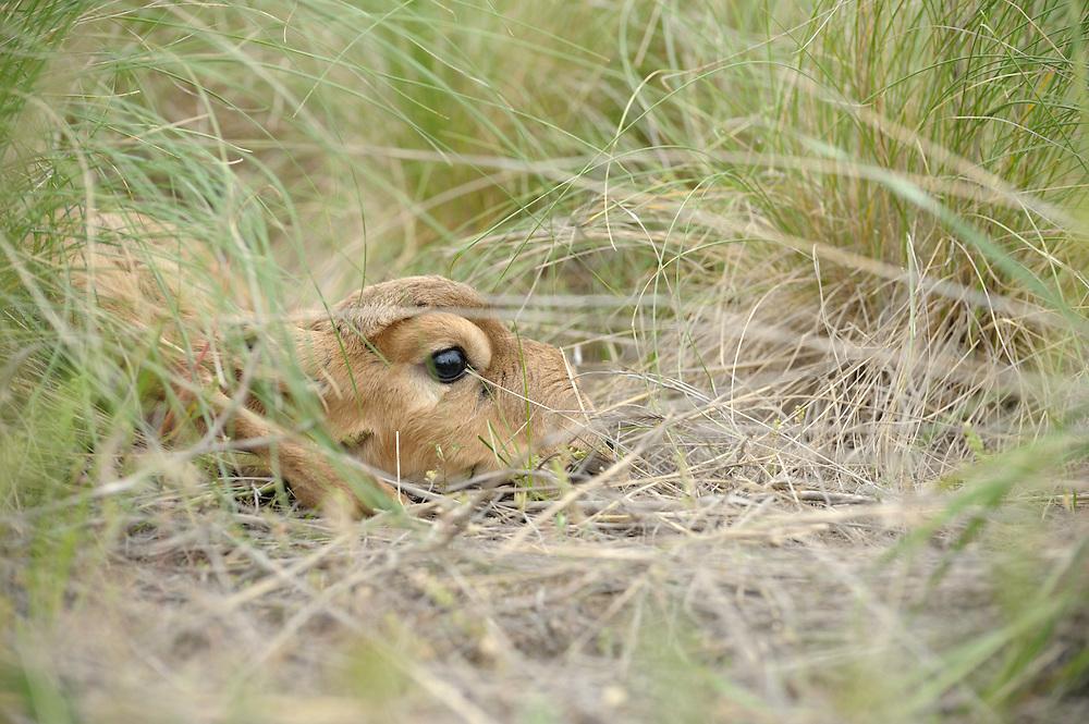 Mission: Saiga.Saiga (Saiga tatarica) newborn lies in the steppe grasses of Cherniye Zemly (Black Earth) Nature Reserve, Kalmykia, Russia, May 2009.Saiga tatarica