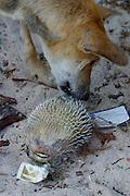 Ao Bang Kao. Dog with dead fugu.