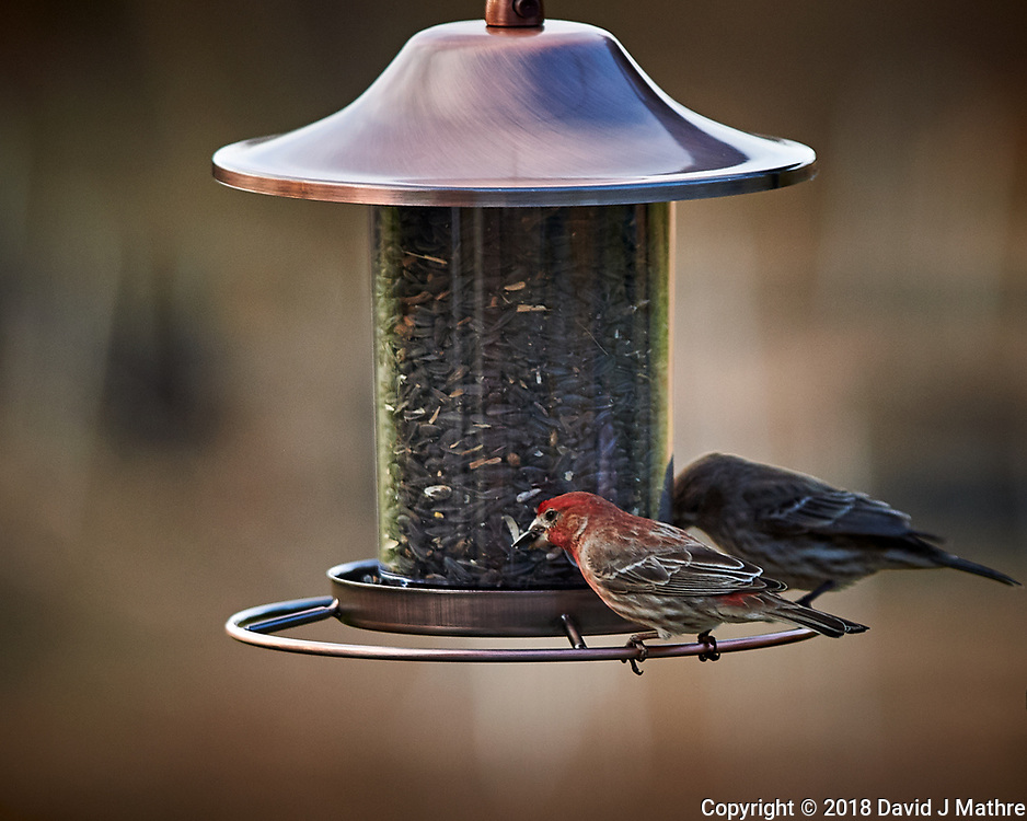 House Finch and  Sparrow. Image taken with a Nikon Df camera and 300 mm f/4 telephoto lens (ISO 320, 300 mm, f/4, 1/320 sec)