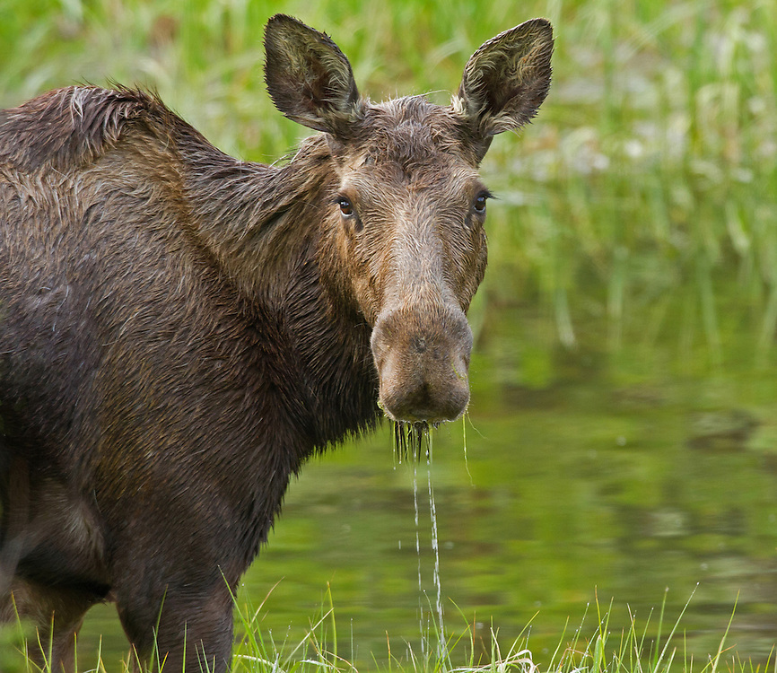 A cow moose dines on aquatic plants in an overflow pond near Middle Creek. During the bountiful months of spring and summer, moose can eat up to four times as much food as they consume in winter when they must subsist on bark and dried twigs.
