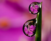 Fireweed bloom magnified, inverted and reflected in dew drops suspended from a blade of grass in Kodiak, Alaska lawn