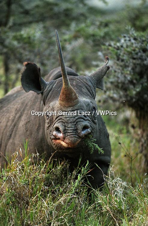 BLACK RHINOCEROS diceros bicornis, ADULT EATING IN BUSH, KENYA