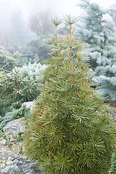Sciadopitys verticillata on a foggy winter's day. Umbrella pine