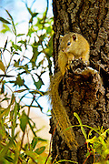 Smith's Bush Squirrel (Paraxerus cepapi), also known as Yellow-footed Squirrel and in South Africa as the Tree Squirrel, is an African bush squirrel found in Angola, Botswana, the Democratic Republic of the Congo, Malawi, Mozambique, Namibia, South Africa, Tanzania, Zambia, and Zimbabwe.