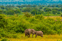 Elephants, Queen Elizabeth National Park, Uganda.
