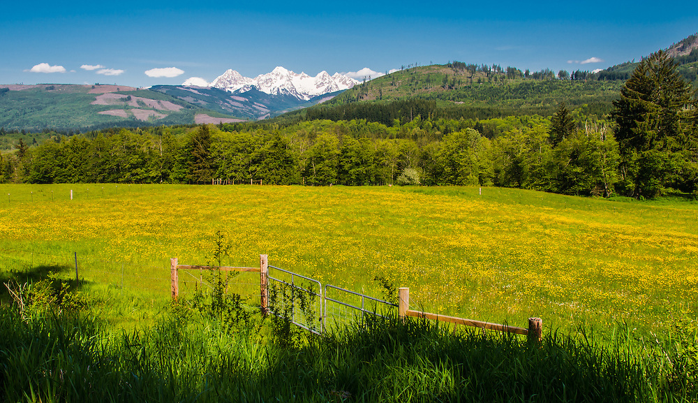 Yellow flowers paint a field along Hwy 9, near Prairie. North Cascades mountain ridge serves as a background.