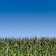 Corn fields against blue sky