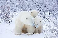 01874-11708 Polar Bears (Ursus maritimus) female and 2 cubs, Churchill Wildlife Management Area,  MB