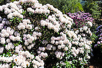 Norway, Sandnes. Rhododendron in Rogaland Arboret.