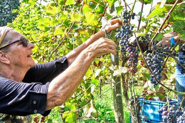 Nederland, Groesbeek, 11-9-2018 Bij het nationaal wijnbouwcentrum zijn vrijwilligers bezig met de druivenoogst van dit seizoen. Kwaliteit gaat hier boven kwantiteit. De oogst is dit jaar vroeg vanwege het warme en droge weer. De druiven zijn van hoge kwaliteit . Het dorp Groesbeek afficheert zichzelf als het wijndorp van Nederland omdat er de jaarlijkse wijnfeesten zijn en verschillende boeren druiven verbouwen, zoals biologische wijngaard de Colonjes . De oogst dit jaar is goed, met een hoog suikergehalte, .Foto: Flip Franssen