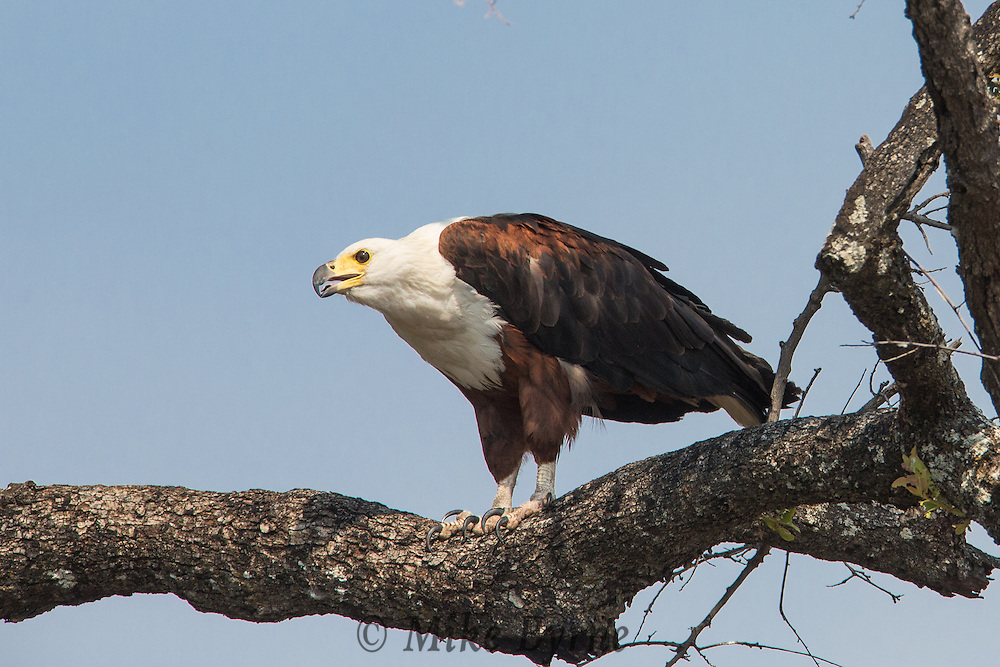Fish eagle in Chobe National Park, Botswana.
