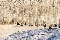 Norway, Stavanger. Crows on Store Stokkavann lake.