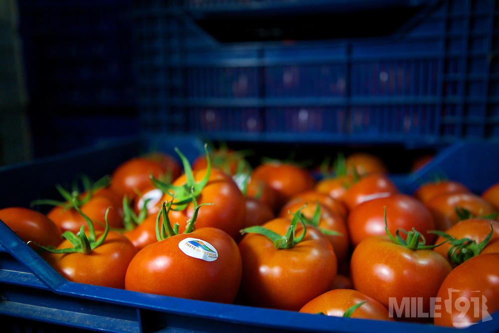 A crate of freshly picked red tomatoes ready to be delivered to the tourist hotels as part of The Taste of Fethiye project, Turkey.