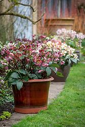 Pots of hellebores in John Massey's garden. Front to back: Helleborus Rodney Davey Marbled Group 'Penny's Pink', Helleborus × nigercors 'Emma', Helleborus 'Harvington Rebekah'.