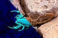 Bark Scorpion (Centruroides exilicauda) under both visible and UV light (Composite, Arizona)