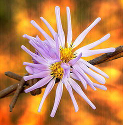 The Douglas Aster is an Rhizomatous perennial wildflower with much-branched stems and light purple aster-like flower heads. It has Ray flowers are blue to purple and disk flowers are yellow. The flowers are 1-2 cm long. A distinguishing characterisitic of Douglas aster is its thick overlapping bracts beneath each flower head. Also, outer margins of thegracts have a thin, transparent (waxy/papery) look.<br />