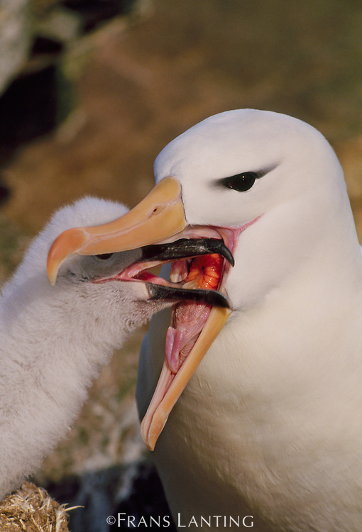 Black-browed albatross feeding chick, Thalassarche melanophrys, Falkland Islands