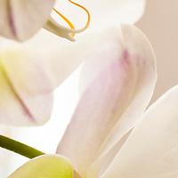 White Moth Orchid or Moon Orchid (Phalaenopsis amabilis)