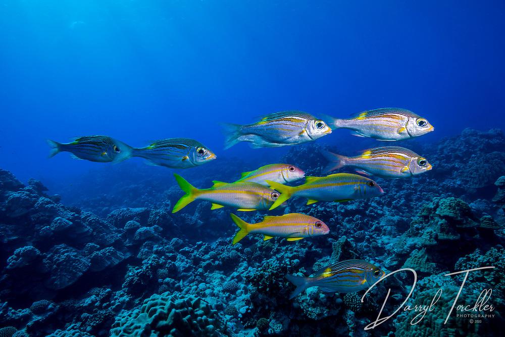 Yellowfin goatfish & gold-lined sea bream on the Paradise dive site. Rarotonga