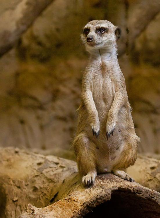 Meerkat on duty watching their hide out.