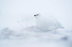 Svalbard Ptarmigan (Lagopus muta hyperborea) in Spitsbergen, Norway