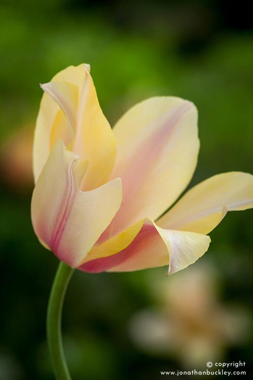 Tulipa 'Blushing Lady'