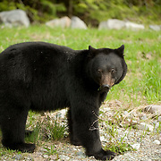 American Black Bear (Ursus americanus).  A black bear feeding near Whistler BC, Canada