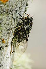 Auchenorrhyncha, Cicaden