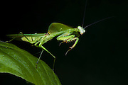 Leaf Mantid (Choeradodis rhombicollis)<br /> Yasuni National Park, Amazon Rainforest<br /> ECUADOR. South America<br /> HABITAT & RANGE: