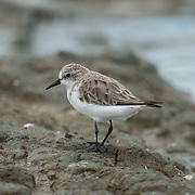 The red-necked stint (Calidris ruficollis) is a small migratory wader. Pak Talay, Thailand.