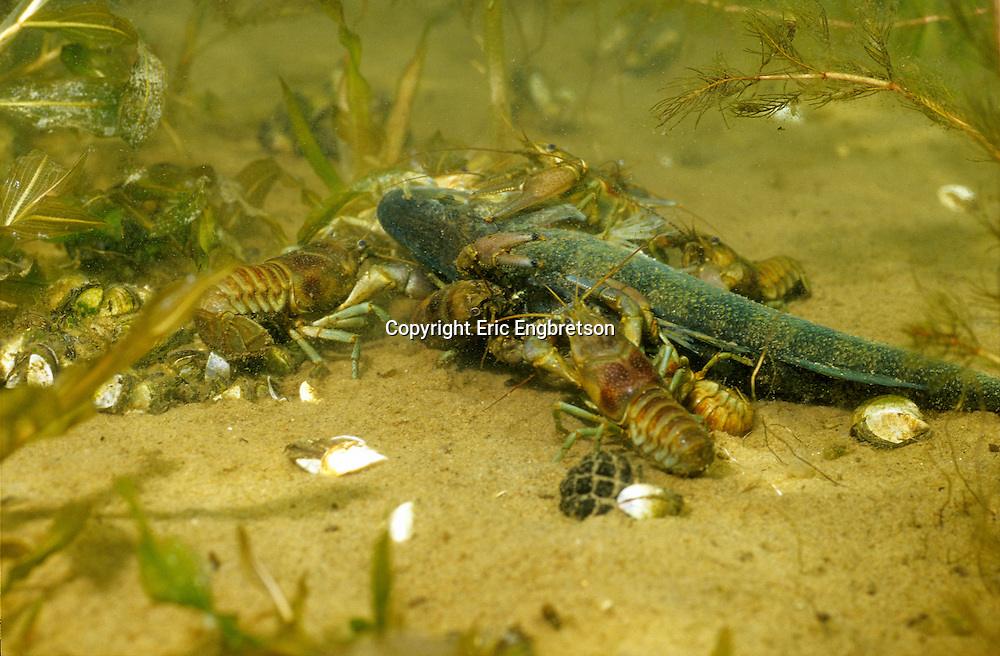 Rusty Crayfish eating dead fish<br />