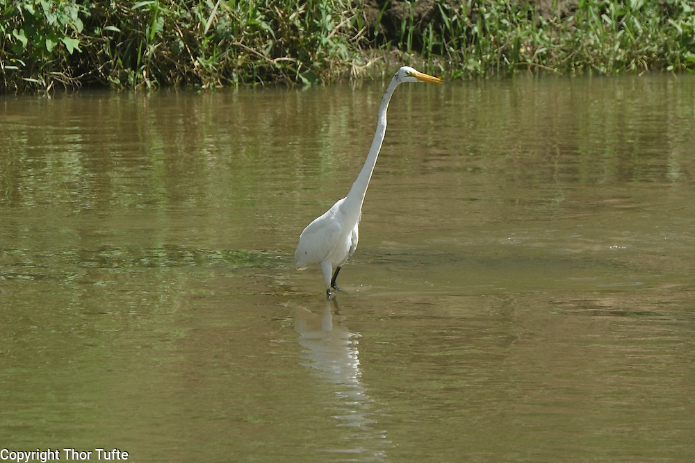 Great Egret in Rio Soco.