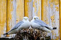 Norway, Vesteraalen. Nykvåg is a small village in Bø, in Vesterålen. Nykvåg is known for its rich bird life. Black-legged Kittiwakes nesting.