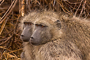 pair of Chacma baboons huddled together for warmth in Kruger