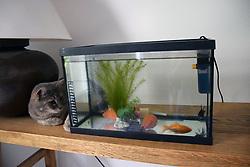 Cat eyeing up fish