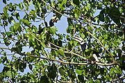 Thailand, Ko Hai. Hornbills.