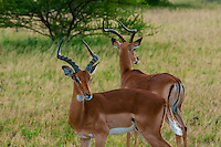 Herd of impala, Nxai Pan National Park, Botswana.